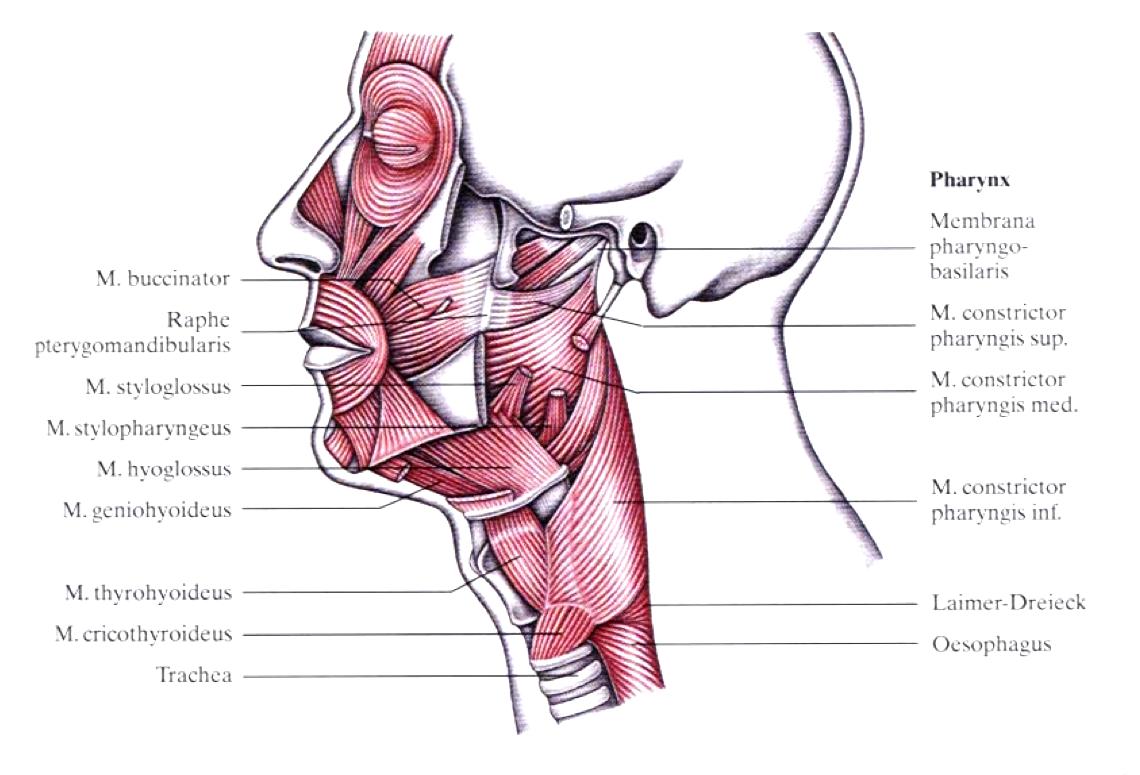 Die Muskulatur des Gesichtes und des Pharynx.